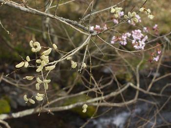 柳桜.jpg