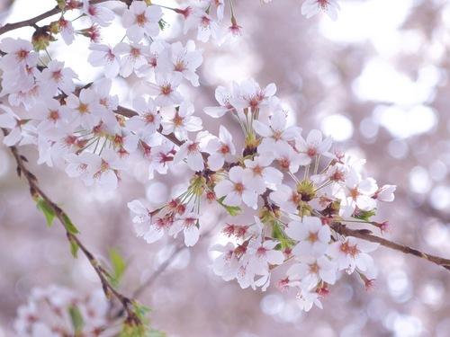 1:桜ふんわり.jpg